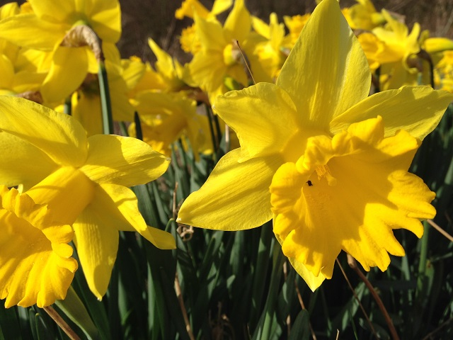 Photo of Spring Daffodils