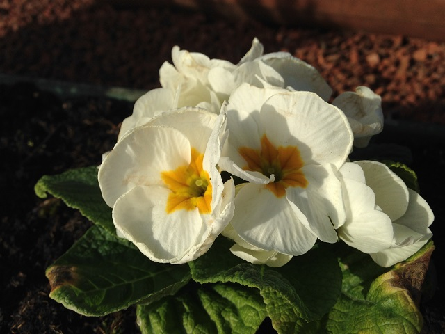 Photo of a primula in bloom