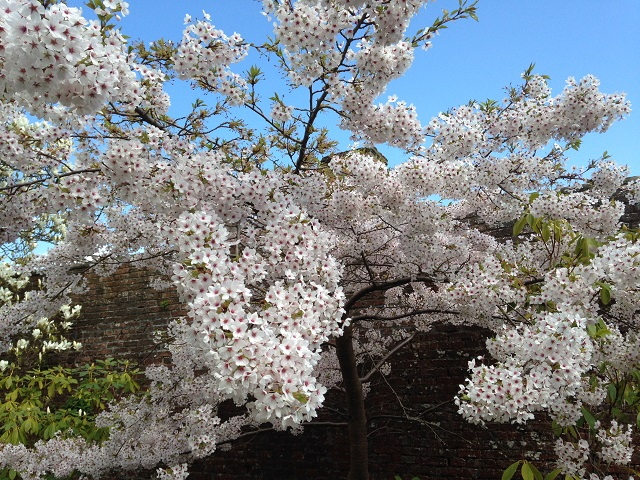 photo of cherry blossom