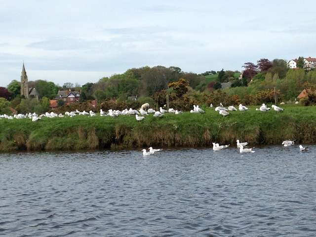 photo of sheep lambs and seagulls